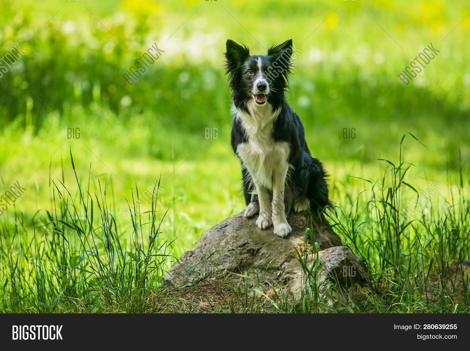 adorable,and,animal,background,black,border,breed,brown,collie,cute,day,dog,domestic,face,flowers,forest,fur,furry,grass,green,grey,ground,hot,meadow,mouth,nature,open,outdoor,outside,park,pet,piece,pink,portrait,purebred,rock,shadow,sitting,spring,stone,summer,sunlight,sunny,tongue,trees,waiting,watching,white,young