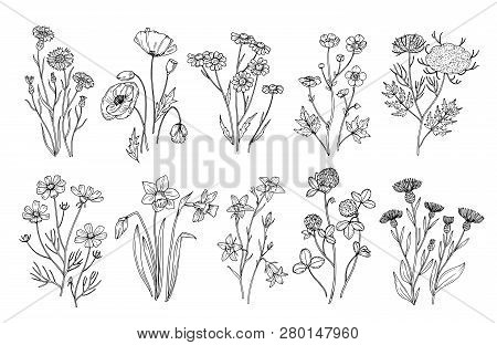 Wild Flowers. Sketch Wildflowers And Herbs Nature Botanical Elements. Hand Drawn Summer Field Flower