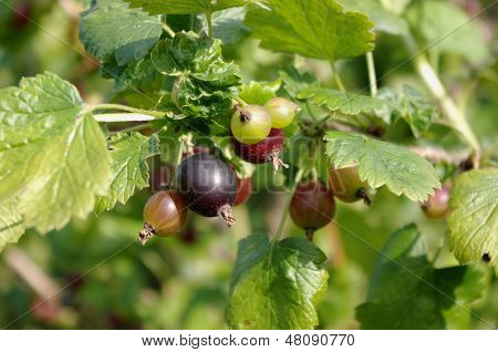 Jostaberry bush (lat. Ribes x nidigrolaria). The jostaberry is a cross fruit bush involving the black currant the North American black gooseberry and the European gooseberry. stock photo