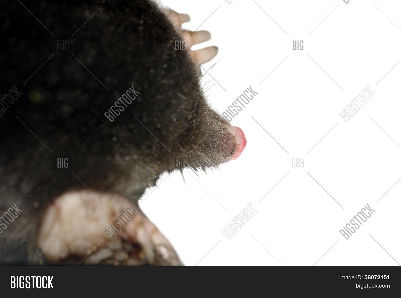 animal,background,black,blind,body,close-up,common,cut,dark,dig,downy,europaea,european,fauna,fluffy,grey,insulated,isolated,laurasiatheria,mammal,mole,moleskin,nature,northern,nuzzle,one,side,single,soricomorpha,talpa,white,wild