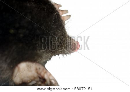 head black mole on a white background stock photo