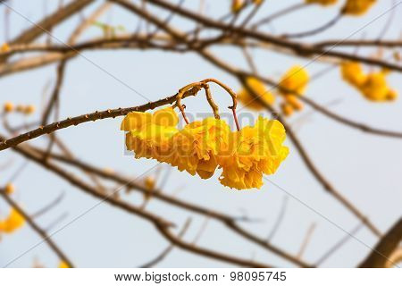 Close up of yellow Silk Cotton (Cochlospermum religiosum) flower against sky stock photo
