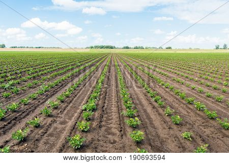 Large field with long converging rows of young celeriac plants on a sunny spring day. The field has been soaked by the recent rain showers. stock photo