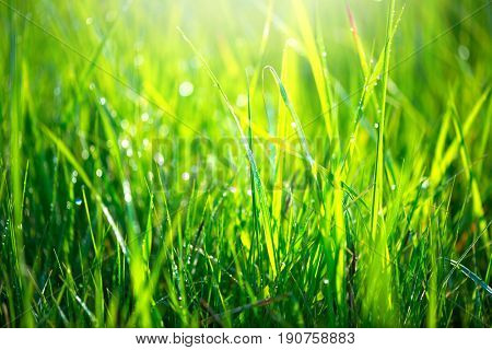 Grass texture. Fresh green spring grass with dew drops background, closeup. Sun. Soft Focus. Abstrac