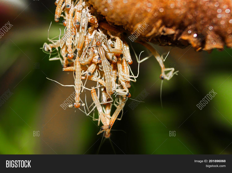 Praying Mantis Nymphs Hatching From An Ootheca 201896068