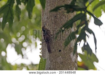 Northern Barred Woodcreeper in the Forest in La Selva Biological Preserve in Costa Rica stock photo