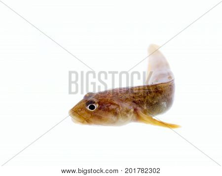 fish wriggles on a white background. very attractive animal in different poses stock photo