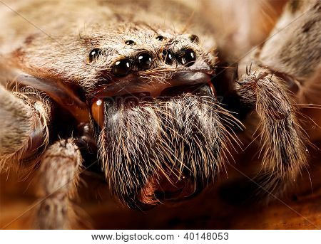 a closeup of a huntsman spider, showing its eyes stock photo