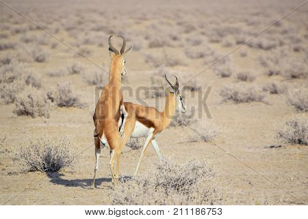 sunny savannah scenery including two copulating springboks in Namibia Africa stock photo