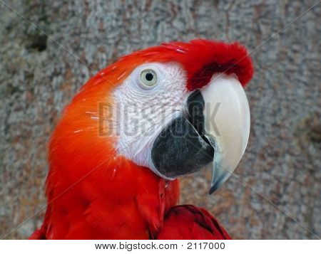 A Scarlet Macaw sitting in a tree in the Amazon rainforest stock photo