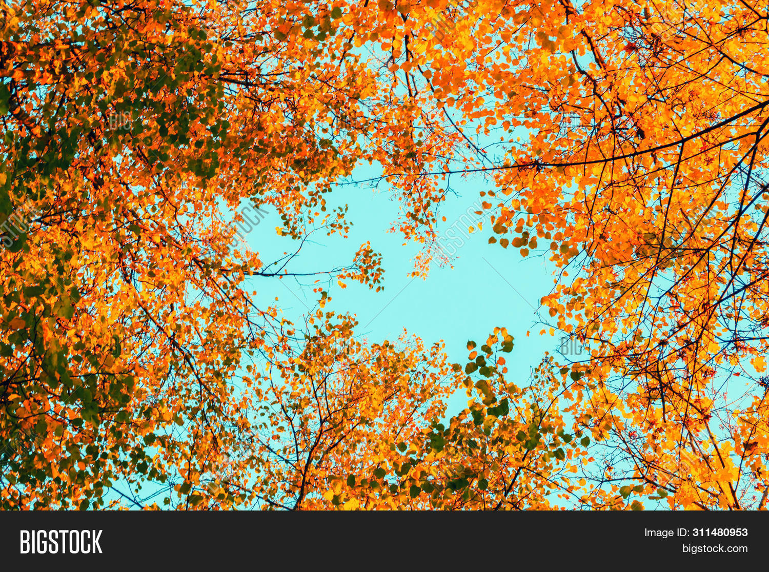 against,autumn,autumnal,background,beauty,birch,blue,botanic,botany,branch,bright,bush,fall,foliage,forest,garden,gardening,green,growth,horizontal,landscape,leaves,natural,nature,orange,park,plant,point,red,season,shooting,sky,space,tops,tree,yellow,yellowed,fall-forest,fall-landscape,fall-nature,fall-scene,fall-trees,fall-background,fall-leaves,fall-park,fall-outdoors,fall-leaf,fall-alley,fall-sunset