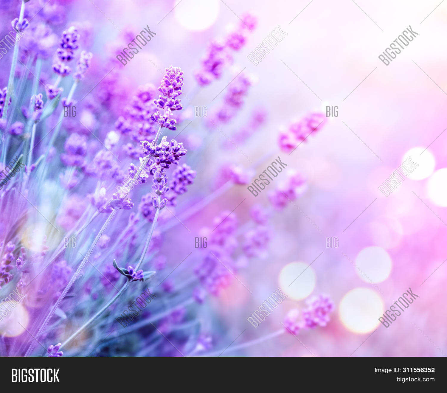 Lavender flower field, Blooming Violet fragrant lavender flowers. Growing Lavender swaying on wind o