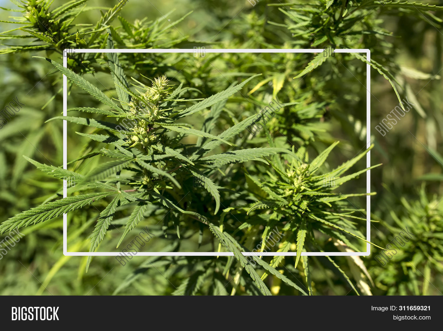 agriculture,background,bud,cannabis,canopy,crop,cultivation,culture,dabs,drug,farm,foliage,ganja,garden,grass,green,grow,growing,growth,health,hemp,herb,herbal,high,home,illegal,indoor,leaf,leaves,legal,marihuana,marijuana,medical,medicinal,medicine,narcotic,natural,nature,oil,old,plant,pot,sativa,shop,thc,vintage,weed,white