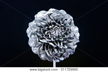 silver chrysanthemum flower. natural retro beauty. luxury and success. metallized antique decoration. wealth and richness. floristics business. Vintage silver. antique silver floral design stock photo