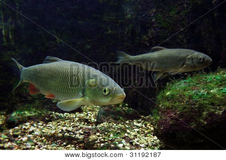 underwater scenery showing two fishes in freshwater ambiance stock photo