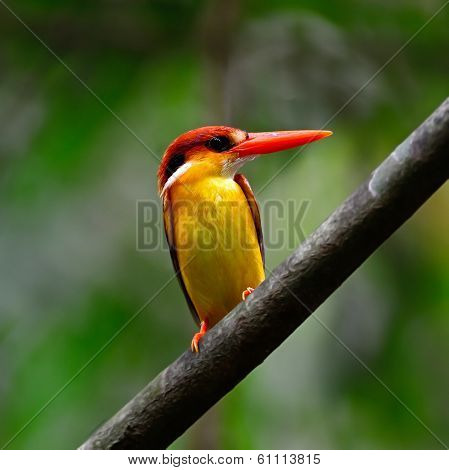 Multicolored Kingfisher bird Black-backed Kingfisher (Ceyx erithacus) breast profile