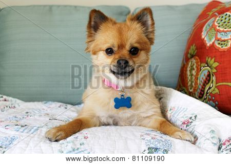 A beautiful pure breed Pomeranian Dog Smiles and plays with her favorite Squeaky toy. Pomeranian Dog