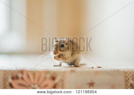Gerbil mouse eating on the kitchen table.