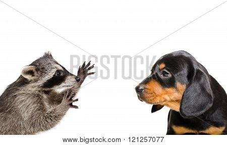 Portrait of playful raccoon and puppy breed Slovakian Hound isolated on white background stock photo