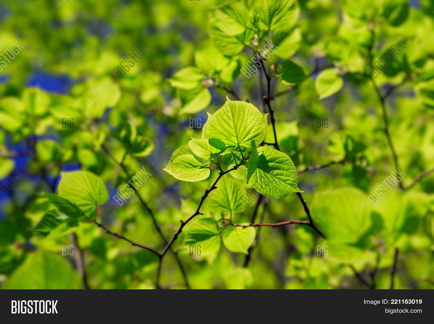Light Shining Through The Leaves Of A Little Leaf Linden Tree Or