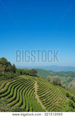 Beautiful scene of Tea plantation in Doi Mae Salong, Chiang Rai Thailand stock photo