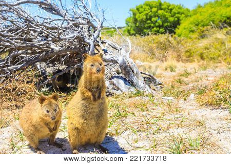 Two Quokka outdoors in Rottnest Island, summer season, Western Australia. Quokka is considered the happiest animal in the world thanks to expression of snout that always reminds a smile. Copy space. stock photo