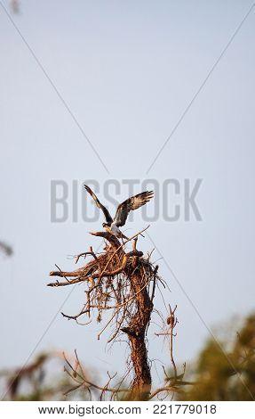Osprey bird Pandion haliaetus builds its nest high above a marsh in the Ding Darling National Refuge on Sanibel Island, Florida stock photo