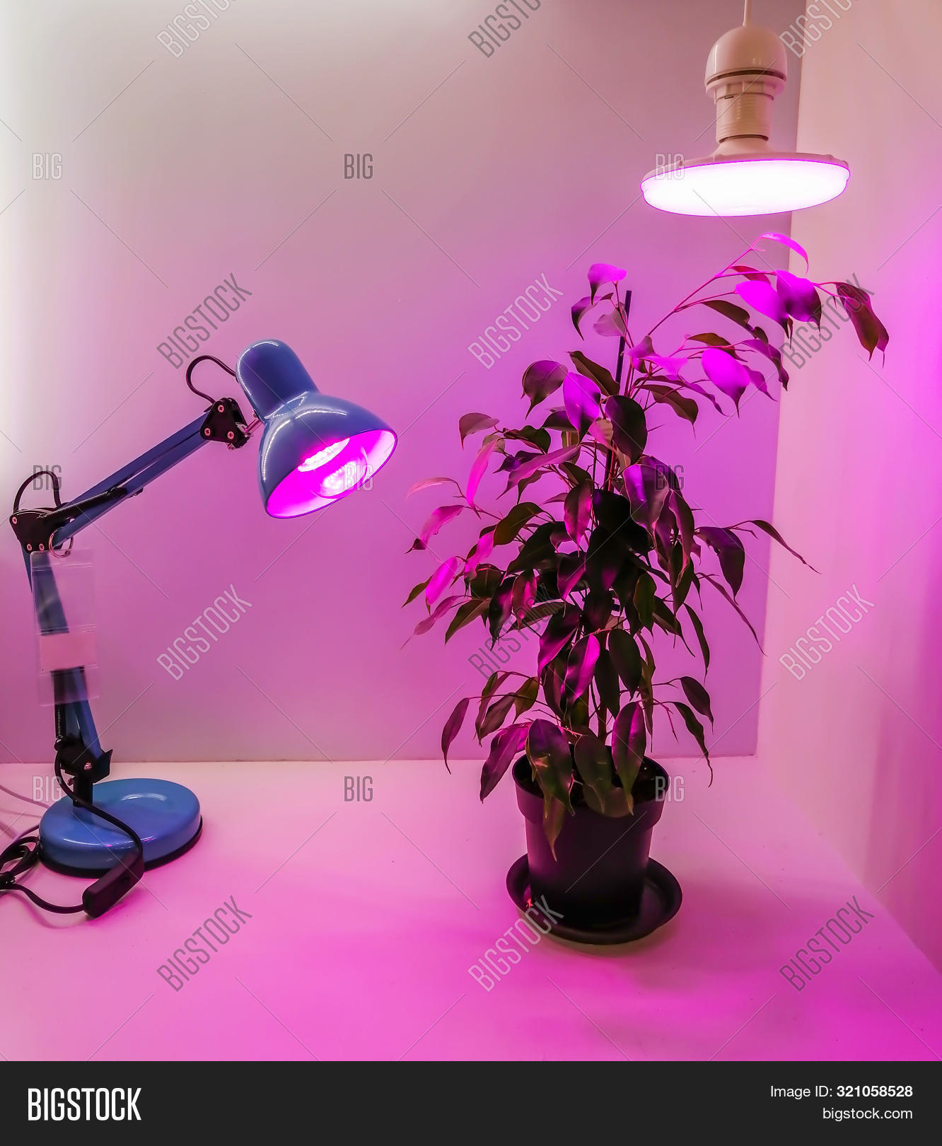 Growing Seedlings At Home And Pink Led Phyto-lighting Lamps For Plants. Growing Vegetables Using Led