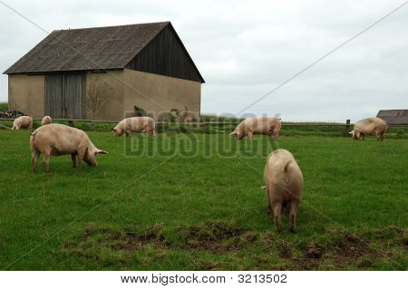 Pigs in a field with fence and farm buildings in the background stock photo