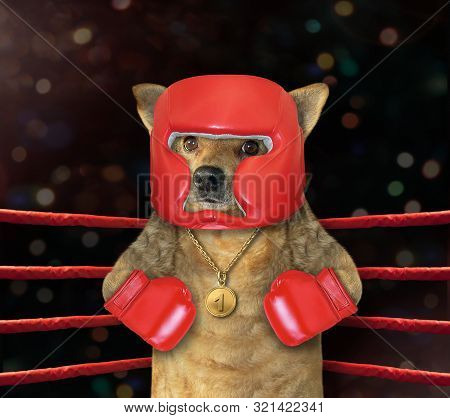 The cat boxer in a red helmet is standing in the corner of a boxing ring. stock photo