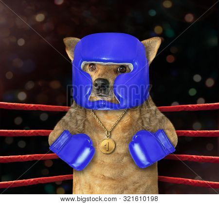 The cat boxer in a blue helmet is standing in the corner of a boxing ring. stock photo
