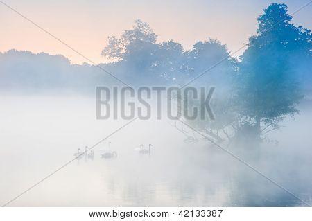Troupeau d'essaim de cygnes sur le lac d'automne automne brumeux de misty