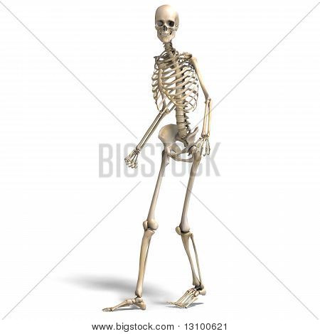 anatomical correct male skeleton. 3D rendering with clipping path and shadow over white stock photo