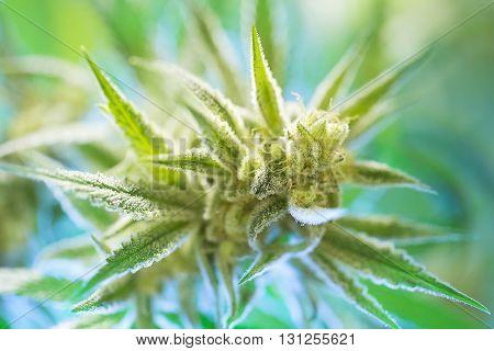 Marijuana Flowering Buds ( Cannabis), Hemp Plant. Very Large Indoor Weed Harvest.