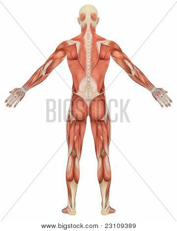 A illustration of the rear view of the male muscular anatomy. Very educational and detailed. stock photo