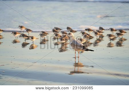 A sea gull stands on the wet beach near a group of sanderlings. The birds are in the water. stock photo