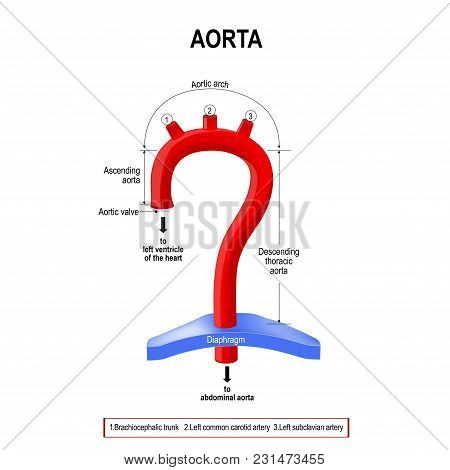 Schematic view of the aorta segments. Labeled Diagram. human anatomy stock photo