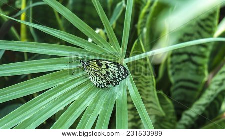 Beautiful insect in natural habitat of green forest. Rice Paper or Large Tree Nymph butterfly Paper Kite Idea Leukoni , on palm leaf stock photo