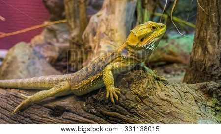 closeup portrait of a bearded dragon lizard, popular tropical terrarium pet in herpetoculture stock photo