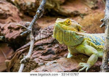 the face of a bearded dragon in closeup, colorful tropical lizard, popular terrarium pet in herpetoculture stock photo