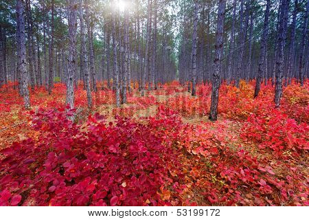 Fantastic forest with cotinus coggygria. autumn leaves. crimea, ukraine, europe. beauty world.