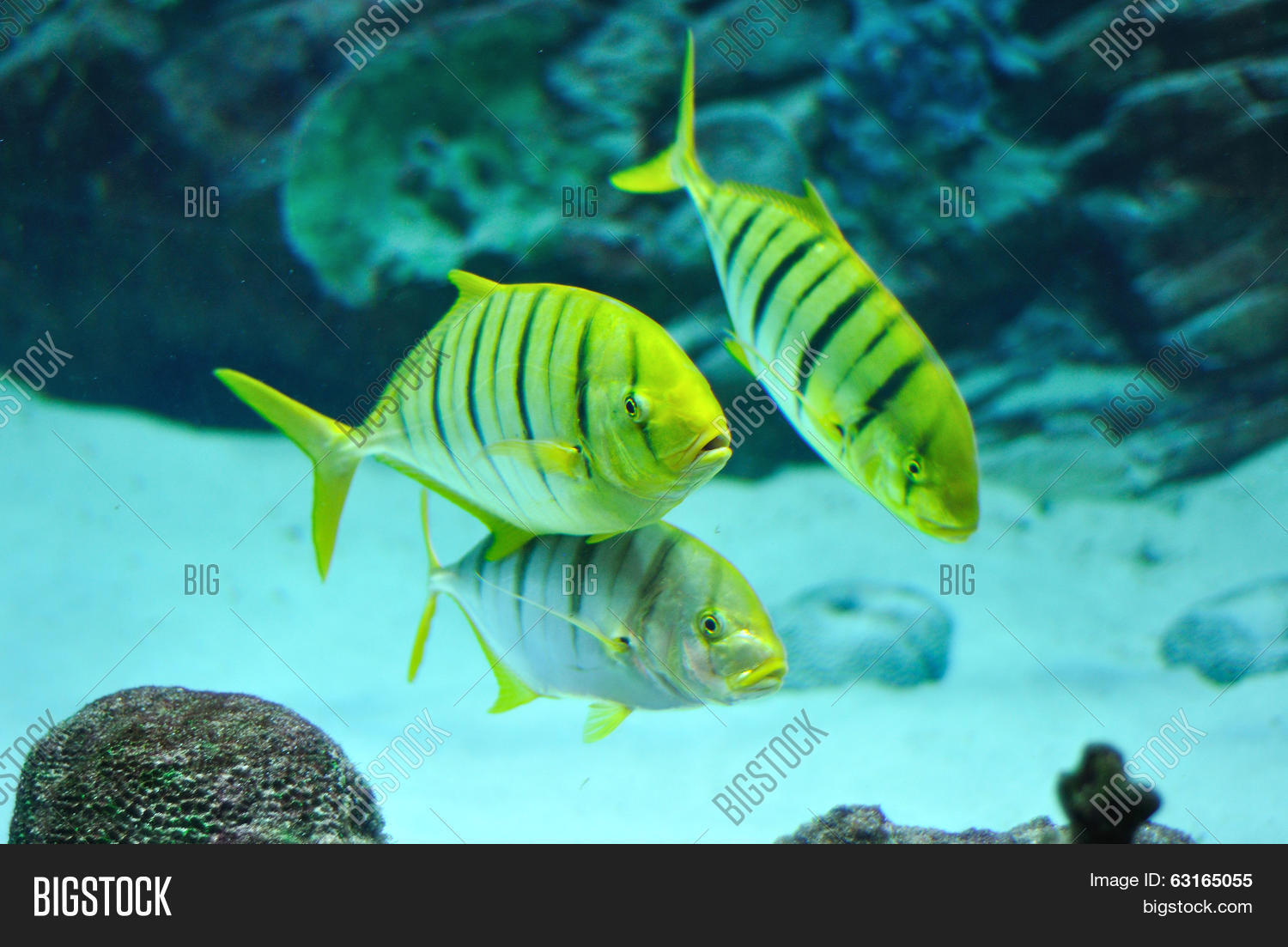 Yellow black striped freshwater fish grateful for