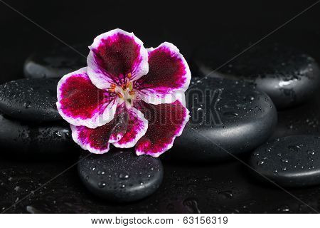 Spa concept with beautiful deep purple flower and zen stones with drops on black  background