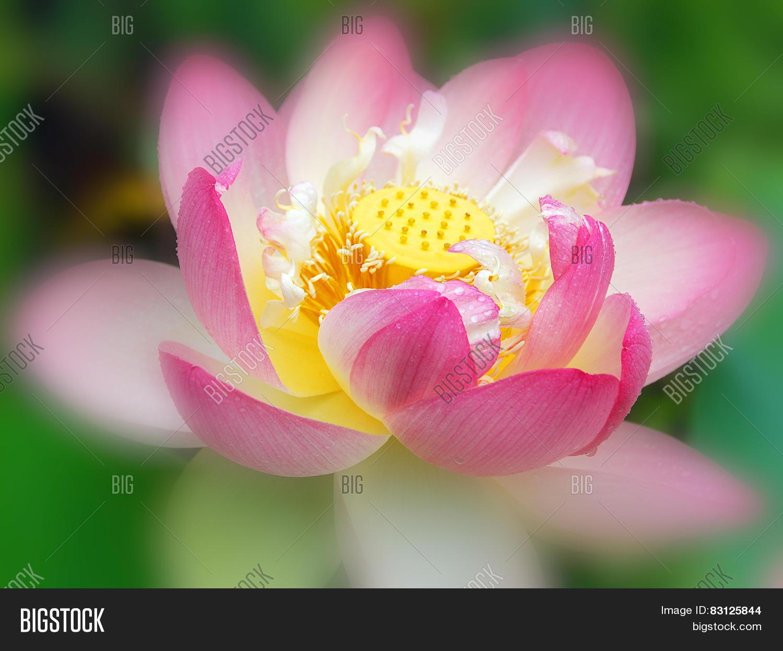 Lotus Flower Photo Stock