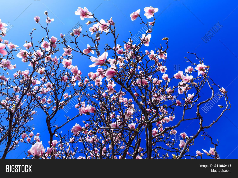 Blooming Magnolia Flowers In Spring Season Pink Magnolia Tree