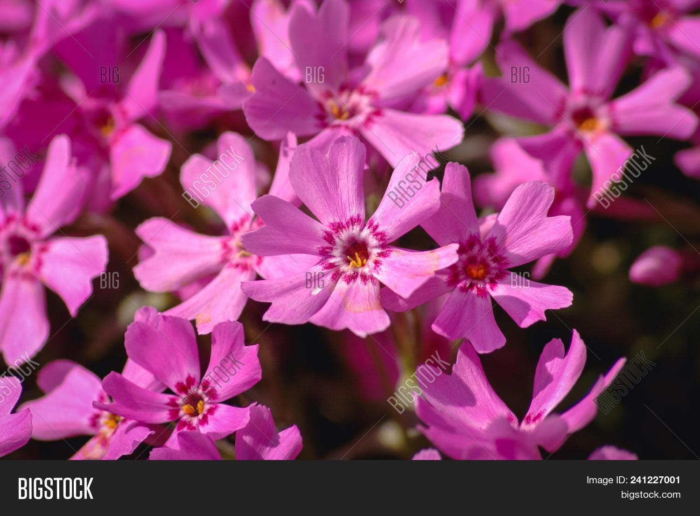Pink Flowers Of Phlox Subulata Flowering Plant In Garden