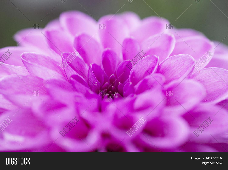blurred background pink flower dahlia in summer garden pompon abstract izmirmasajfo