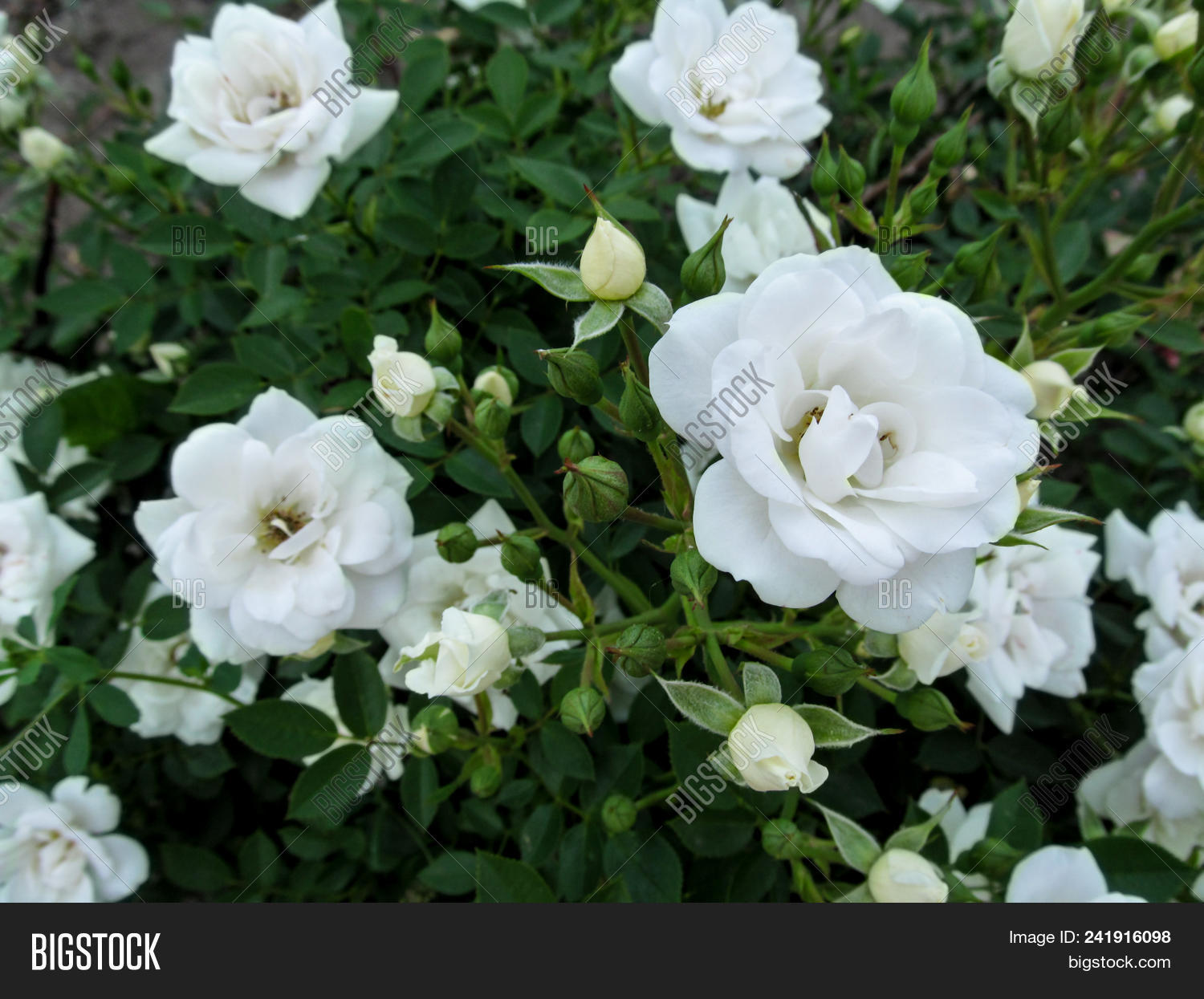 Beautiful Elegant Floral Background With Delicate White Roses For