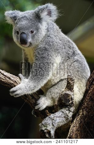 Koala is a marsupial native to Australia found in coastal areas of the mainland's eastern and southern regions stock photo