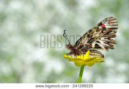beautiful butterfly on a yellow flower. spring butterflies. southern festoon. copy spaces. stock photo